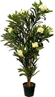 Kirschbaum BlüTezeit