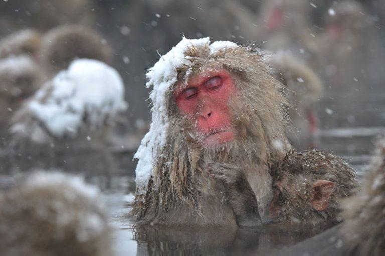 Affen In HeißEn Quellen